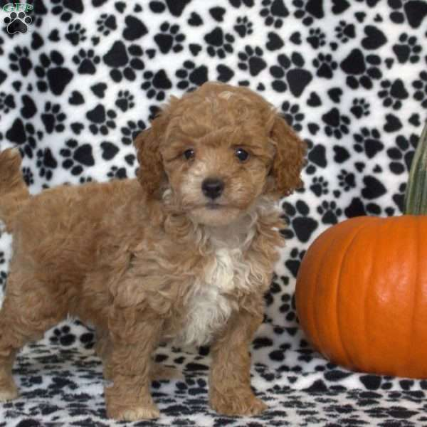 Sterling, Toy Poodle Puppy