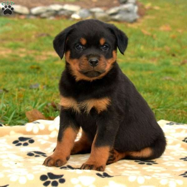 Sully, Rottweiler Puppy
