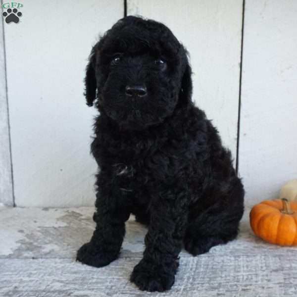 Teddy, Mini Whoodle Puppy