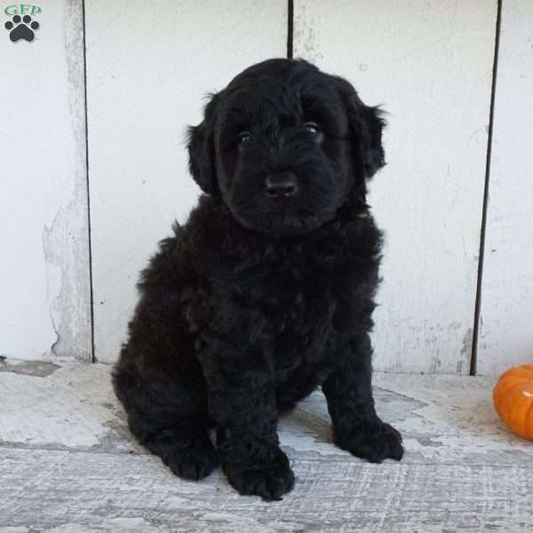 Tucker, Mini Whoodle Puppy