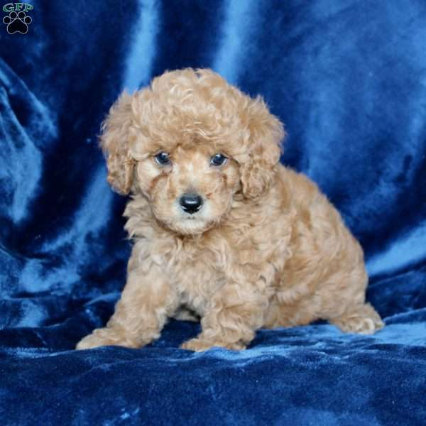 Betsy, Toy Poodle Puppy