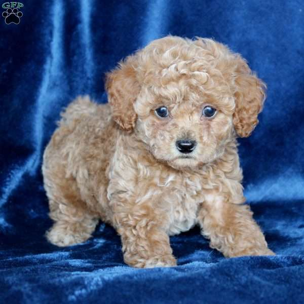 Buddy, Toy Poodle Puppy