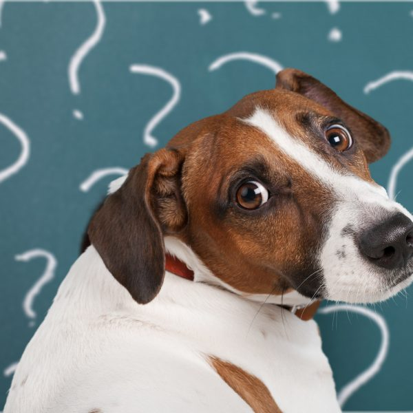 confused jack russell terrier surrounded by question marks