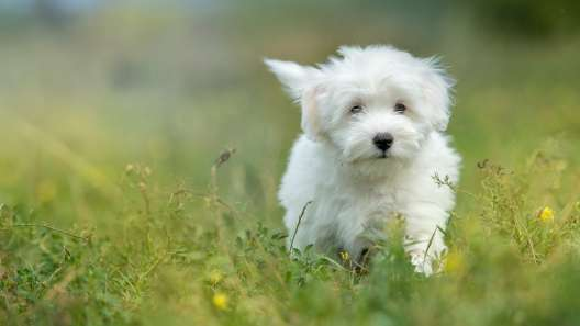 4 Things to Know About Coton de Tulear Puppies