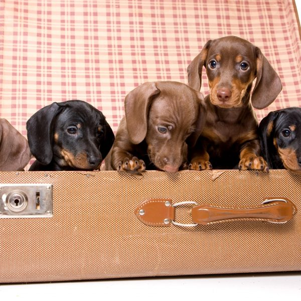dachshund puppies in an open vintage suitcase