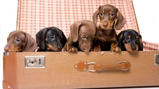 3 Things to Know About Dachshund Puppies