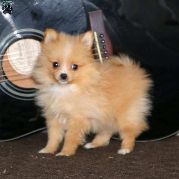 Ashley, Pomeranian Puppy