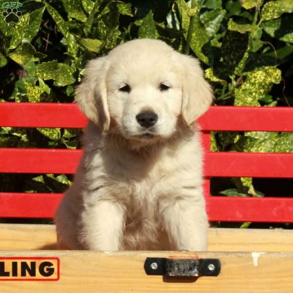 Bingo, English Cream Golden Retriever Puppy
