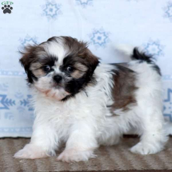 Brindy, Shih Tzu Puppy