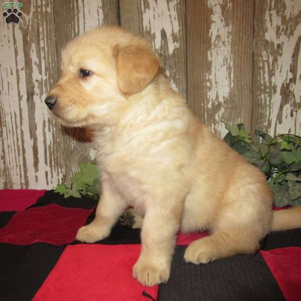 Debbi, Golden Labrador Puppy