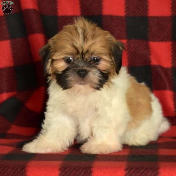 Dolly, Shih Tzu Puppy
