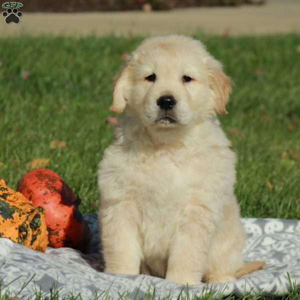Dumpling, English Cream Golden Retriever Puppy