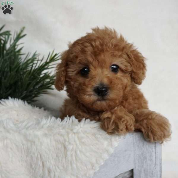 Eco, Toy Poodle Puppy