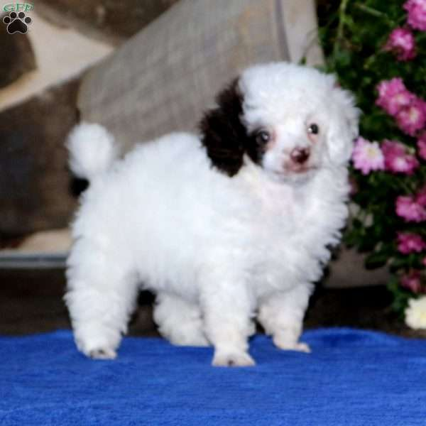 Everest, Toy Poodle Puppy