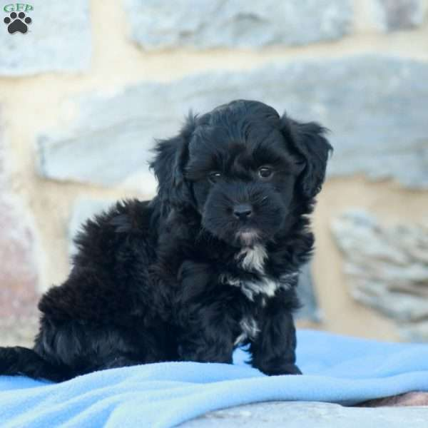Fern, Toy Poodle Mix Puppy