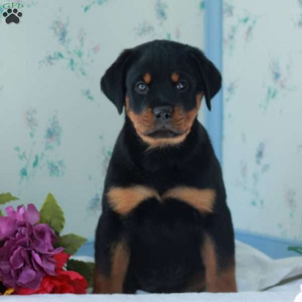 Griswold, Rottweiler Puppy