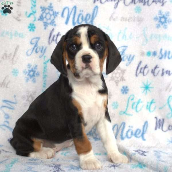 Hope, Cavalier King Charles Mix Puppy