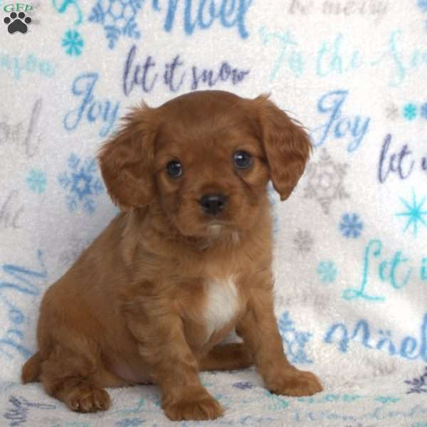 Hoyt, Cavalier King Charles Mix Puppy