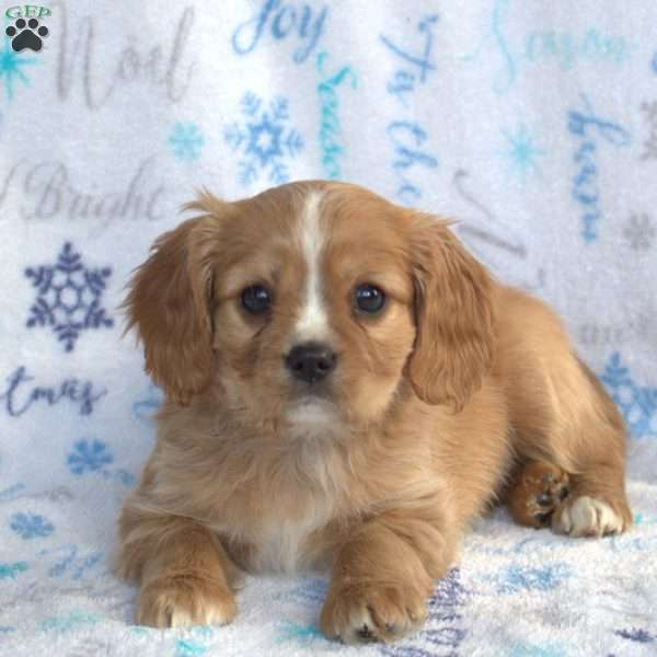 Huck, Cavalier King Charles Mix Puppy