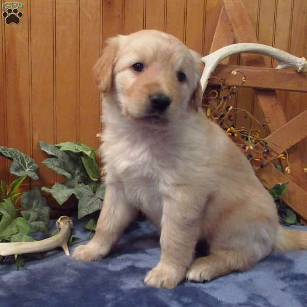 Jasper, Golden Labrador Puppy