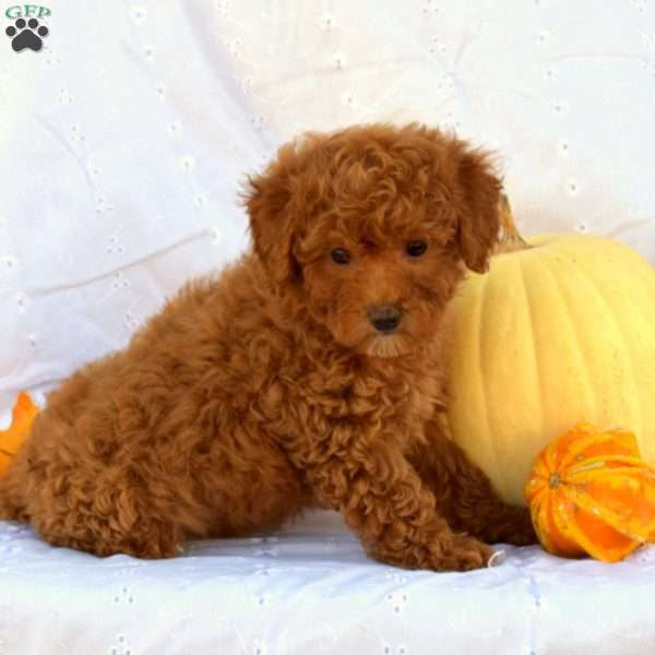 Kelly, Toy Poodle Puppy