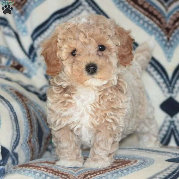 Kenny, Toy Poodle Puppy