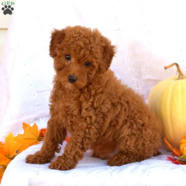 Kevin, Toy Poodle Puppy