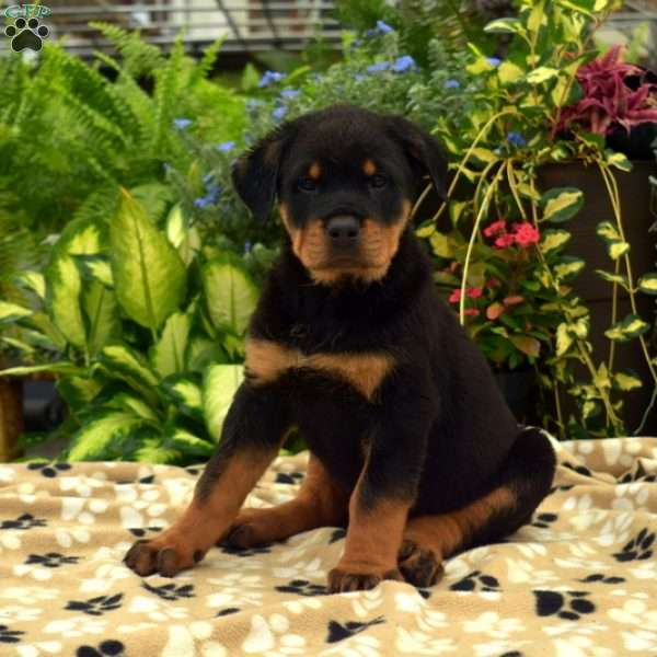 Lacy, Rottweiler Puppy