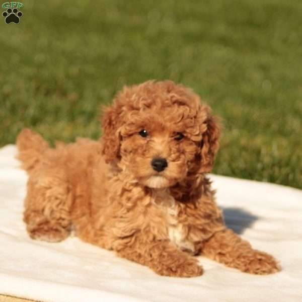 Lanie, Toy Poodle Puppy