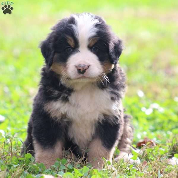 Lavern, Bernese Mountain Dog Puppy