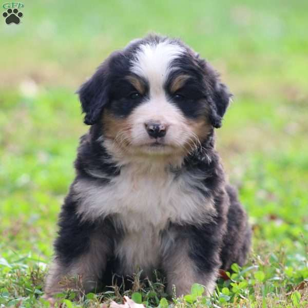 Laurence, Bernese Mountain Dog Puppy