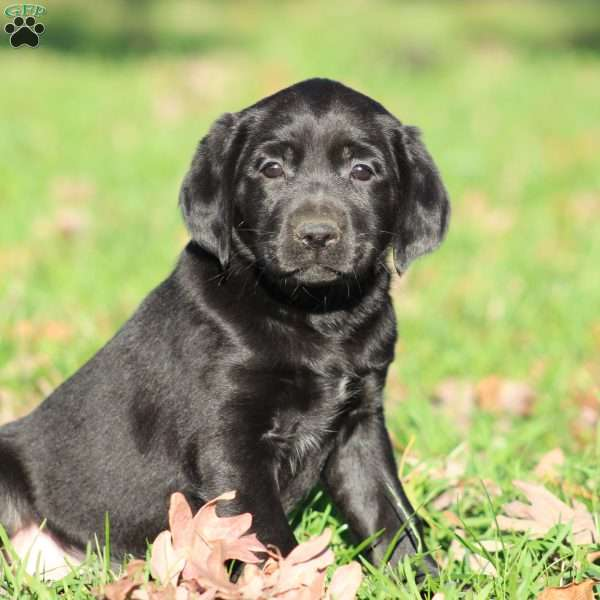 Lilly, Labrador Mix Puppy