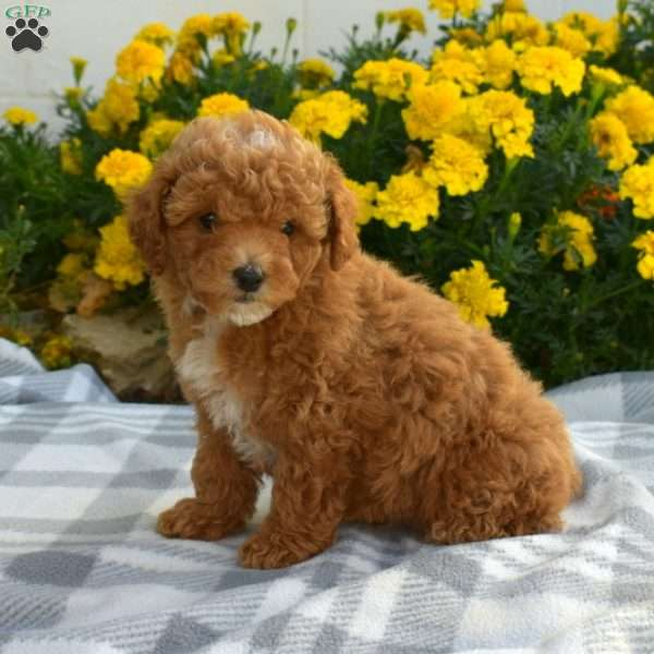 Mickey, Toy Poodle Puppy