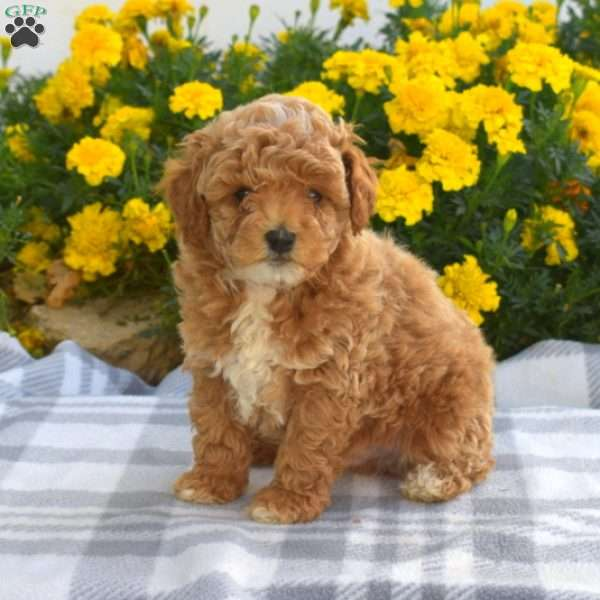 Milo, Toy Poodle Puppy