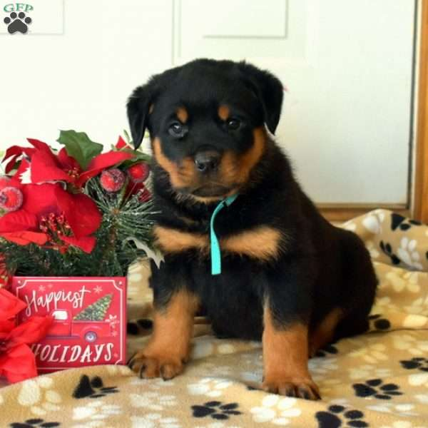 Pauly, Rottweiler Puppy