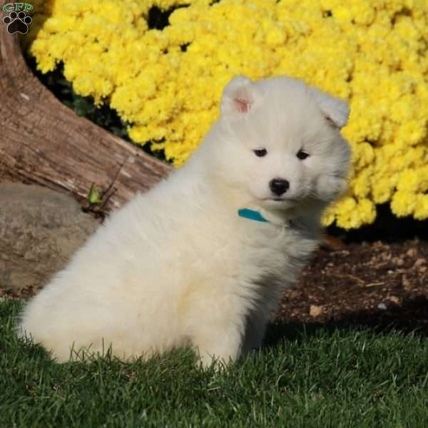 Petal, Samoyed Puppy