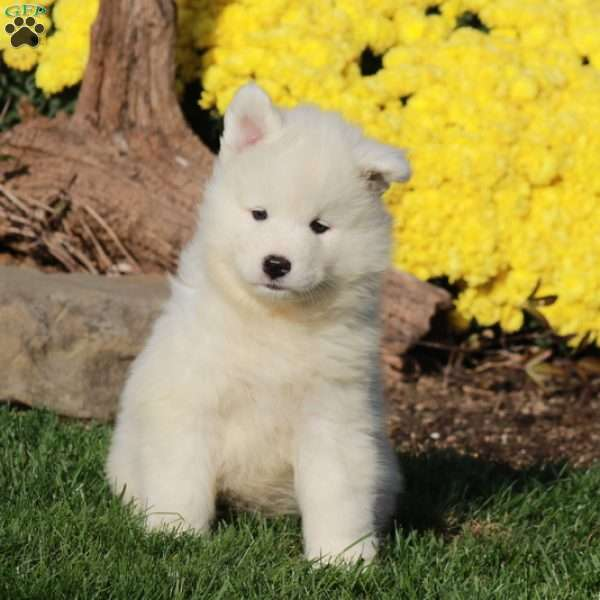 Polly, Samoyed Puppy