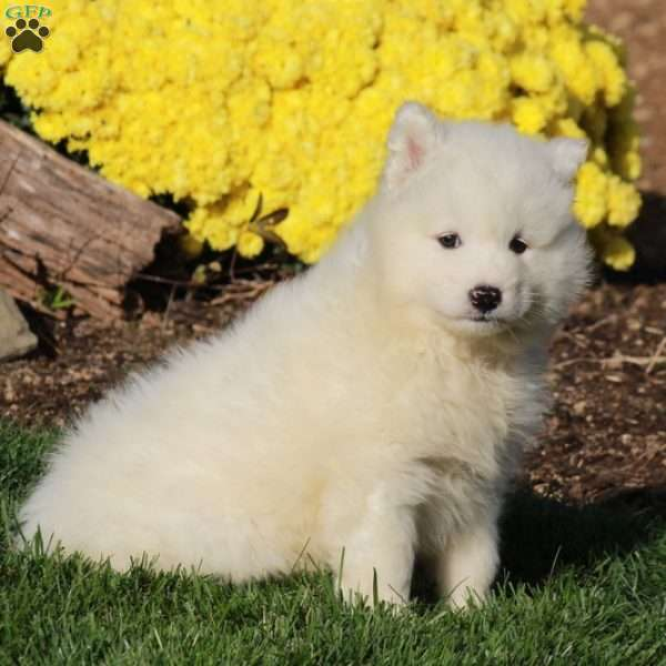 Prince, Samoyed Puppy