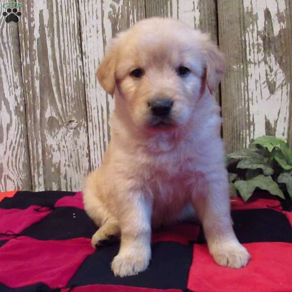 Saige, Golden Labrador Puppy