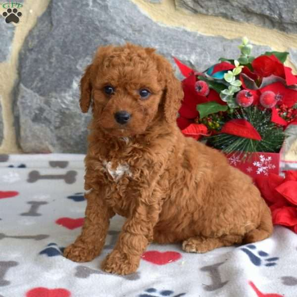 Scarlet Rose, Double Doodle Puppy
