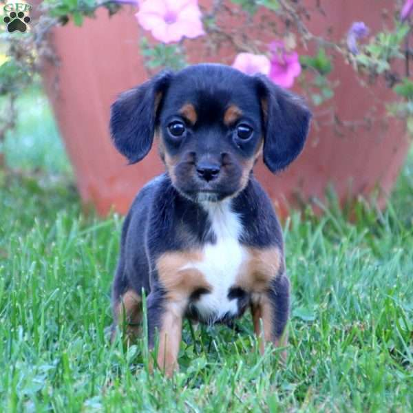 Spark, Cavalier King Charles Mix Puppy