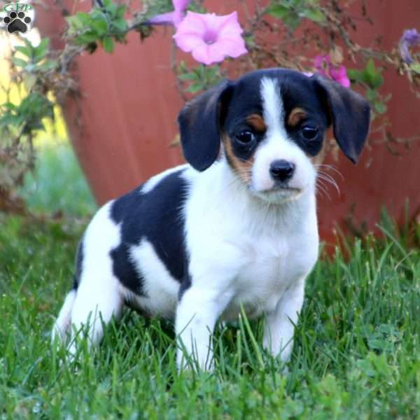 Sweets, Cavalier King Charles Mix Puppy