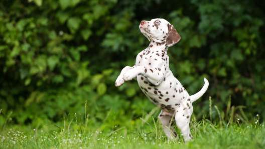 6 Things to Know About Dalmatian Puppies
