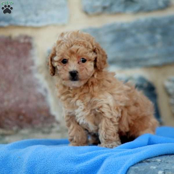 Fiona, Toy Poodle Mix Puppy