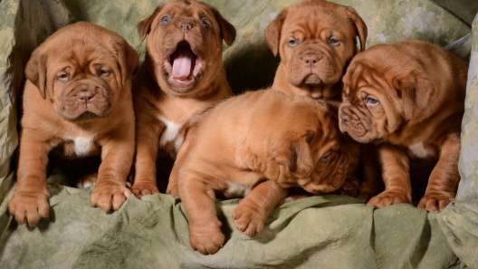 4 Things to Know About French Mastiff Puppies