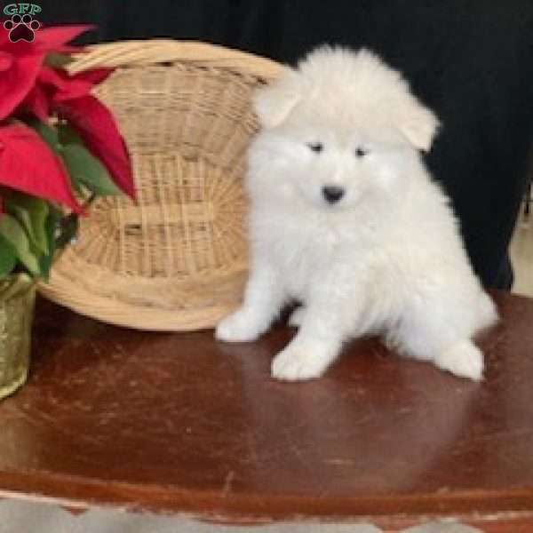 Rosa, Samoyed Puppy