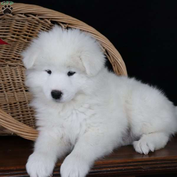Ryder, Samoyed Puppy