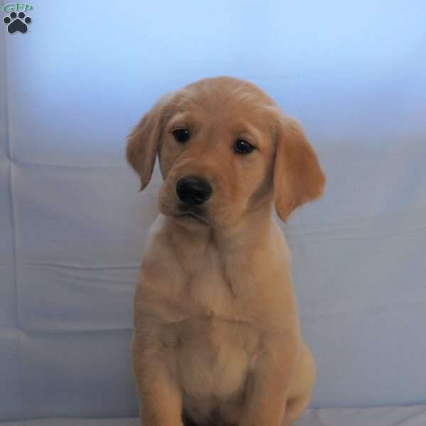 Bentley, Golden Labrador Puppy