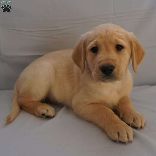 Buttons, Golden Labrador Puppy