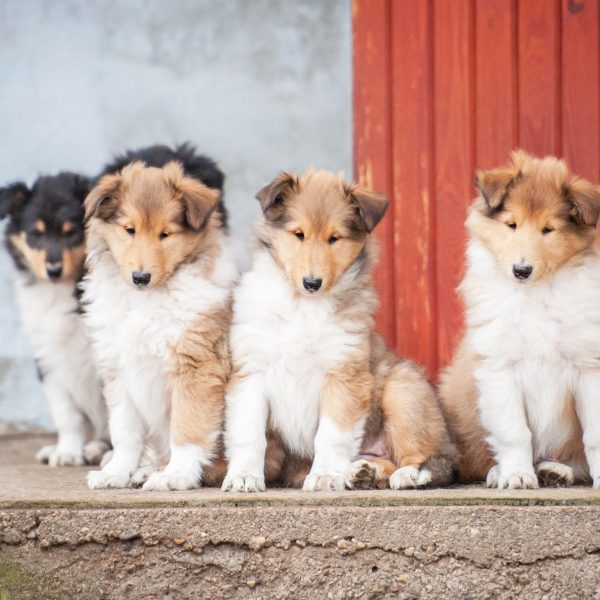 rough collie puppies sitting outside